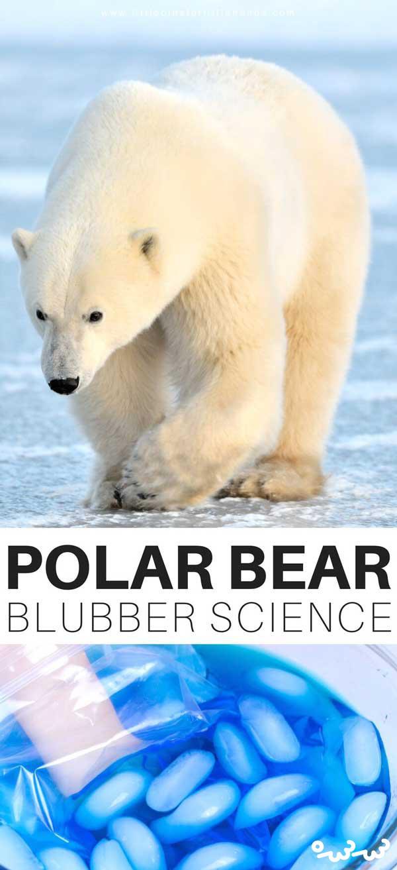 چرا خرس های قطبی در زمستان سردشان نمی شود؟
