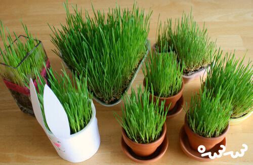 آموزش کاشت سبزه عید با گندم