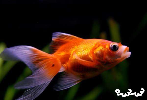 درمان بیماری های میکروبی ماهی قرمز